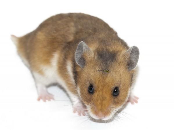 Hamster ca. 50-60gr.