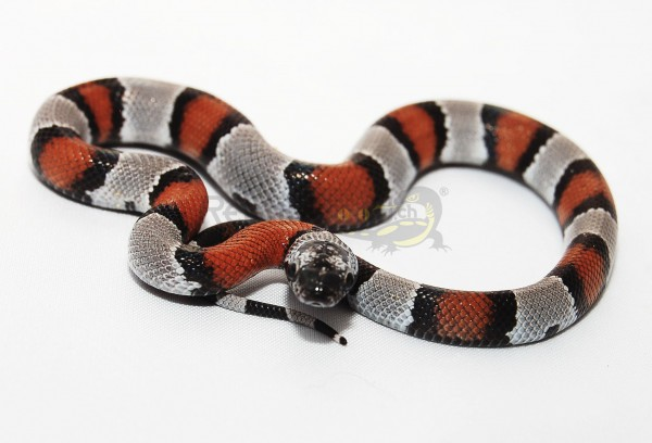 Lampropeltis alterna blairi