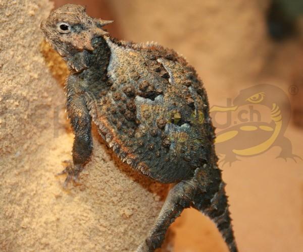 Wüsten Krötenechse
