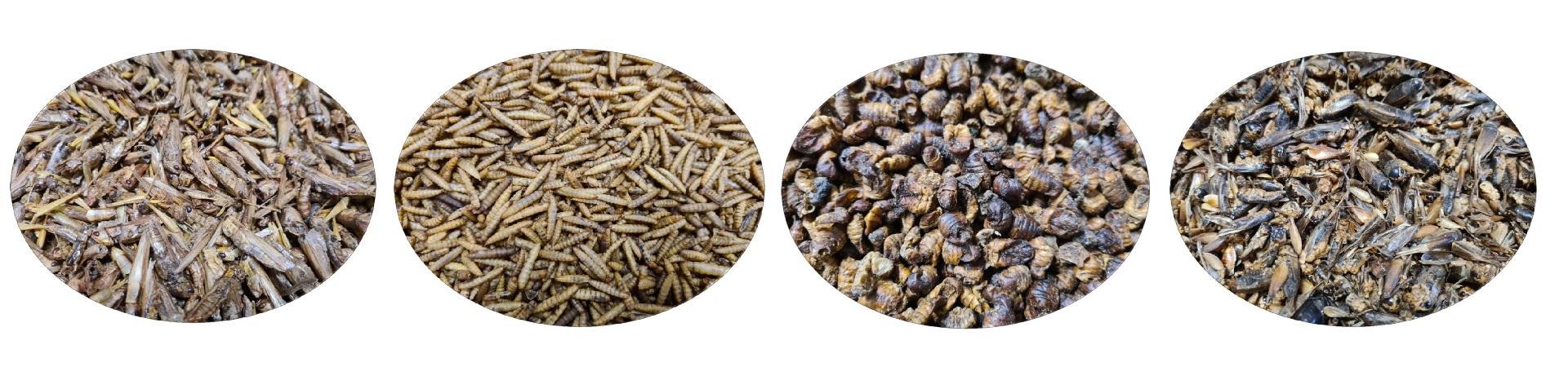 Insectes séchés et algues