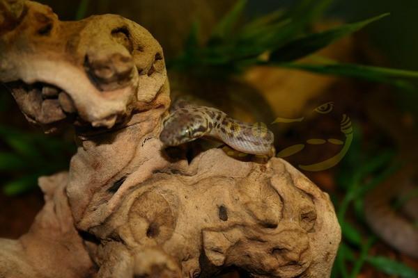 Gefleckter Python