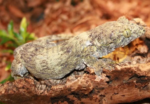 Molukken-Riesengecko