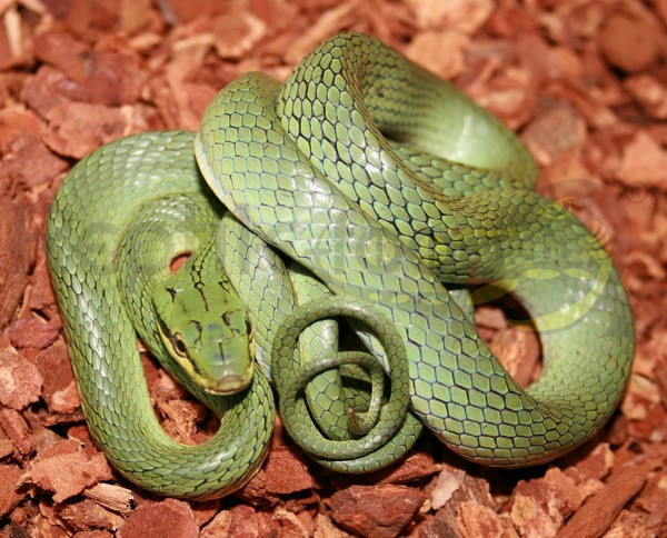 Grüne Zügelnatter