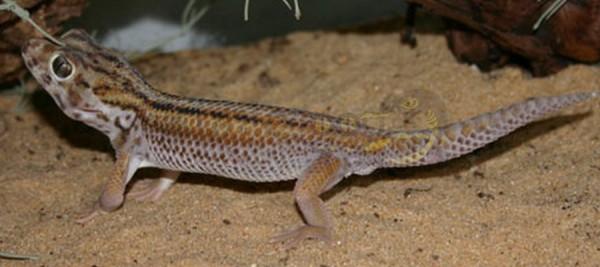 Grosser Wundergecko