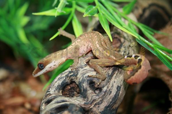 Fuchsgesichtsgecko