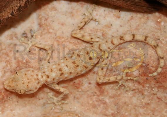 Sahara Fächerfingergecko