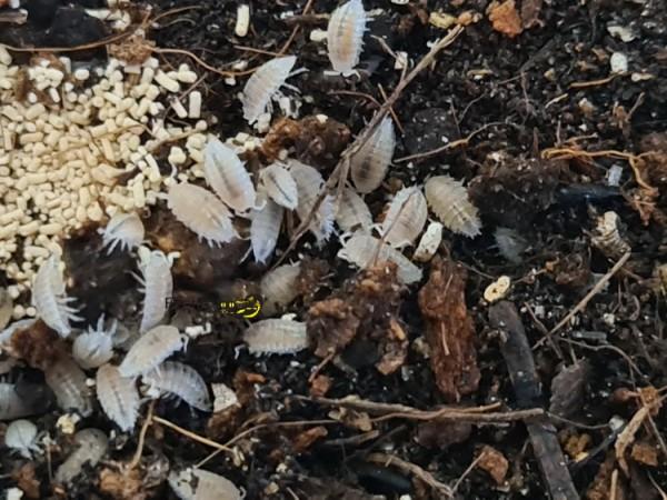 Cloportes blanches (Trichorhina tomentosa)
