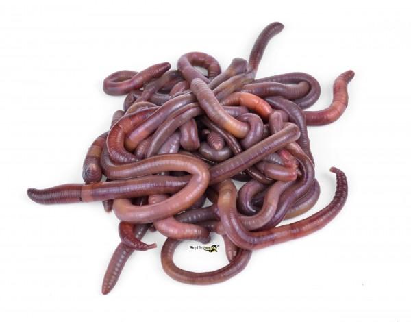 Dendrobena Würmer