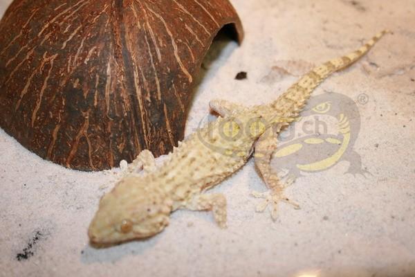 Qattara Gecko