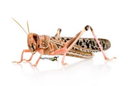 Wüstenheuschrecken gross