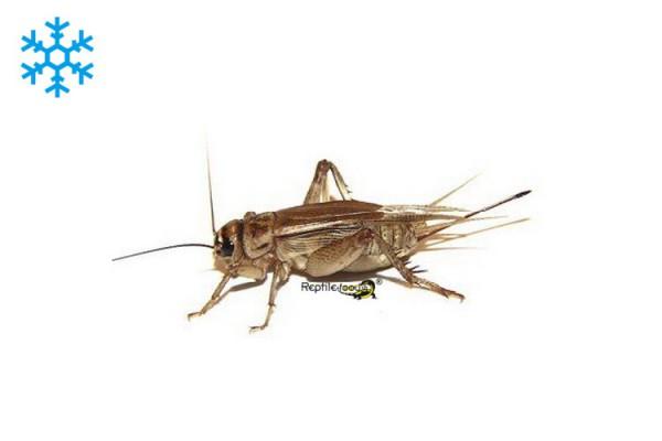 1kg. Brown House Crickets subadult / adult frozen