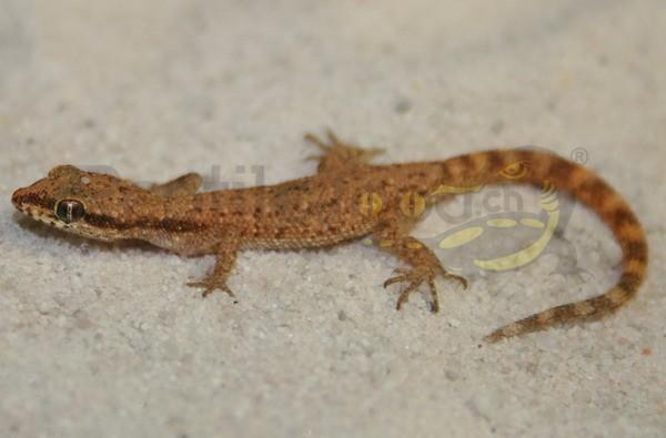 Tripoli Microgecko
