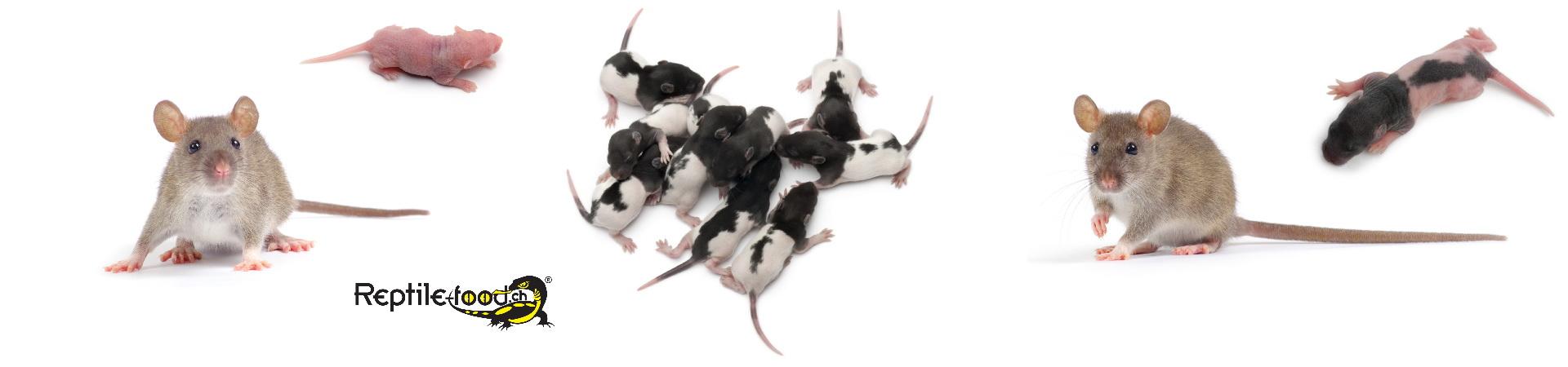 Rats congelée