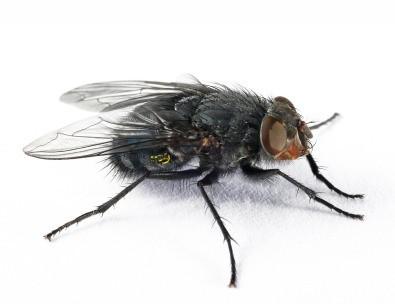 Stubenfliegen 1Ltr. flugunfähig