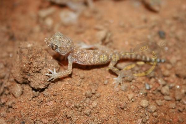 Wüsten Dünnfingergecko