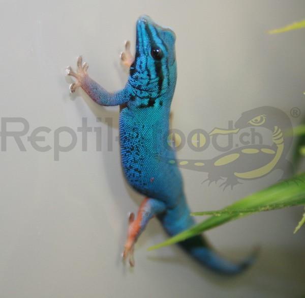 Blauer Zwergtaggecko