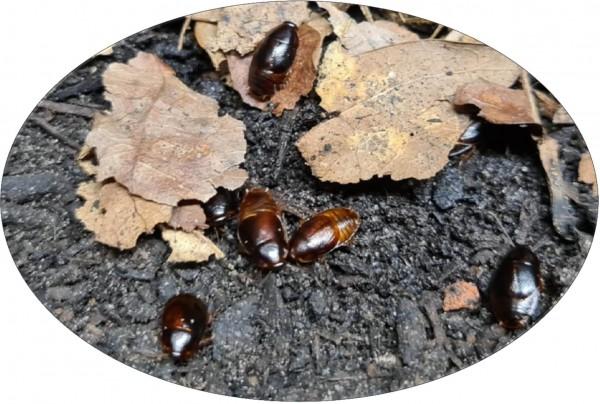 Blattes pygmées Kenya