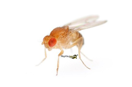 Drosophila gross 1 Ltr.