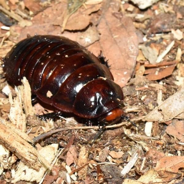 1.1 Rhinoschaben (Macropanesthia rhinoceros)