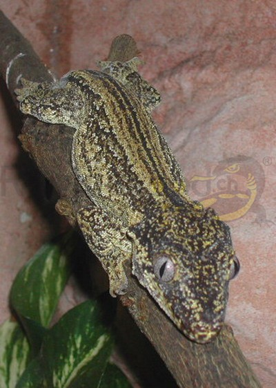 Höckerkopfgecko