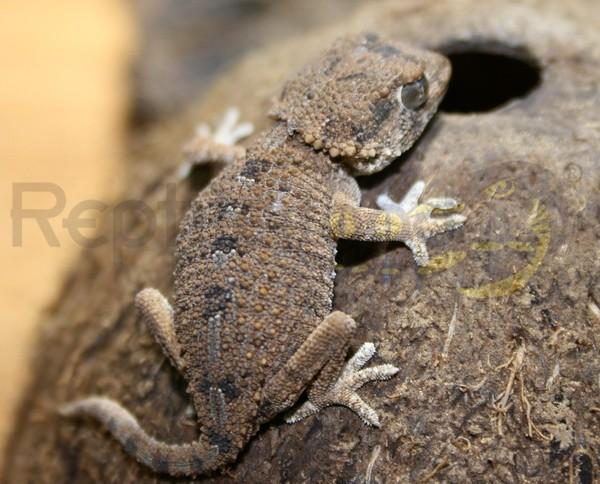Helmkopfgecko