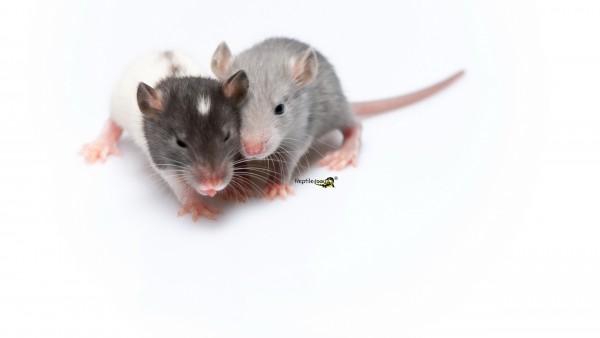 """Sensitive"" Ratten klein ca. 30-40gr."